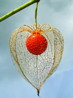 Fruit Physalis